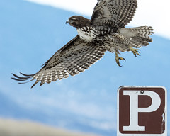 Out of Park (opheliosnaps) Tags: bird animal wild nature outdoors parking sign park brown blue hawk red tailed buteo jamaicensis klamath basin national wildlife refuge county oregon usa jump spread talons bif flight wings p metal