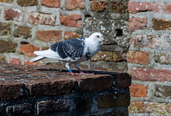 The pigeon (Marco van Beek) Tags: pigeon animal bird nature holland europe beautiful world nikon d5000 afs dx nikkor 18200mm f3556g ed vr ii