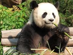 Panda - Zoo Berlin