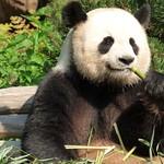 Panda - Zoo Berlin thumbnail