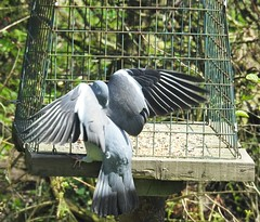 Wood Pigeon at Feeding Station - Hauxley (Gilli8888) Tags: hauxley northumberland nikon p900 coolpix wildlife birds countryside wetlands pigeon woodpigeon cage wings