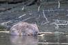 20180507-Flickr-0006 (Iris Harm Fotografie) Tags: bever beaver ed willem iris harm fotografie natuur outside nature outdoor buiten water biesbosch knagen geur afzetten tanden