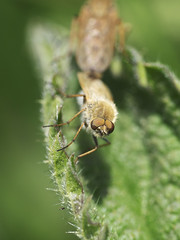Therevidae? (Konstantin.a7) Tags: fly ハエ 昆虫 自然 接写 緑 sony green insect macro nature mosca verde naturaleza insecto