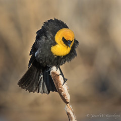 Yellow-headed Blackbird (Turk Images) Tags: beaverhilllakearea xanthocephalusxanthocephalus yellowheadedblackbird alberta birds blackbirds breeding icteridae tofield wetlands yhbb prairie spring