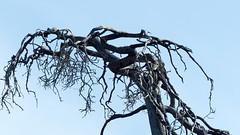 Burnt pine forest (Nuuksio national park, Velskola, Espoo, 20180514) (RainoL) Tags: crainolampinen 2018 201805 20180514 burnt deadwood esbo espoo finland fz200 geo:lat=6031080578 geo:lon=2461817492 geotagged may nationalpark nouxnationalpark nuuksionationalpark nuuksionkansallispuisto nyland pine spring tree uusimaa velskola vällskog fin