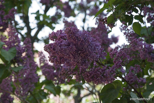 Сад бузків Ботанічний сад імені Гришка InterNetri  Ukraine 08