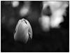 Mitakon Tulip (b&w ver.) (Krogen) Tags: norge norway norwegen akershus romerike ullensaker jessheim krogen 17mai mitakonspeedmaster panasonic lumix gx7 f095 blackwhite bw svarthvitt svhv silverefexpro