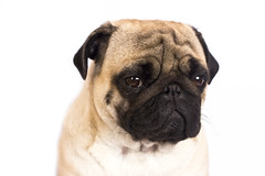 The pug dog sits and looks with sad big eyes. (yannamelissa) Tags: cute dog sad directly pug white isolated portrait animal small greeting funny celebrate present pet emotion friend canine breed puppy sadness doggy sorrow melancholy sitting big macro face headshot domestic beige petulant crying eye expression adorable friendship serious facial thinking purebred depression pedigreed question curiosity wrinkle snout hound asking pleading