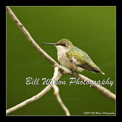 ruby-throated hummingbird (wildlifephotonj) Tags: rubythroatedhummingbird rubythroatedhummingbirds hummingbirds hummingbird wildlifephotographynj naturephotographynj wildlifephotography wildlife nature naturephotography wildlifephotos naturephotos natureprints birds bird