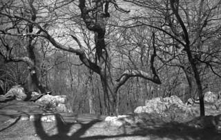 Tree at Skyland