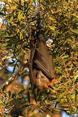 grey-headed flying fox 1 (GTV6FLETCH) Tags: pteropus poliocephalusgrey headed flying foxfruit batflying foxcanoncanon 5dsrcanon eos 5dsr5dsr5dsr 5dsr canon150600mm f563 dg os hsm | csigma 150600mm c sigma