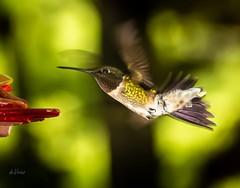 Cleared for landing . . . (Dr. Farnsworth) Tags: birds small hummingbird rubythroated feeder flash external westlake i michigan spring may2018 nationalgeographic worldwide animalsandbirds thegoldeneagle