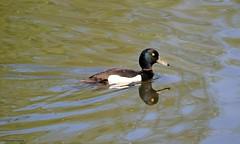 J78A0493 (M0JRA) Tags: birds flight flying wildlife rats walks gardens parks fields trees lakes ponds ducks swans rspb