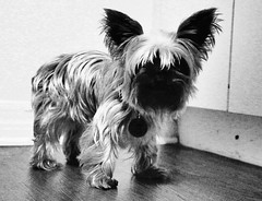 Walking wig. (david11eiu) Tags: shaggy wig doggy canon ghostface tag furry hairy miniature mini tiny terrier yorkshireterrier yorkie smalldog blackandwhite bw dog pet cute small