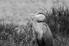 A Heron Dressed in B&W (PDX Bailey) Tags: heron ridgefield washington national wildlife refuge state