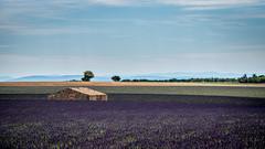 La petite maison dans le champ de lavande (pascal548) Tags: