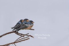 Trio of Swallows (Maggggie) Tags: barnswallows birds blue orange branch nature outdoors