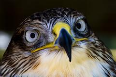 Buzzard (R.J.Boyd) Tags: buzzard bird prey hunter animal wildlife predator portrait