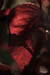 le penseur barbu...-1 (FLOCVROFF) Tags: macro proxi canon 50mm spring mai chivaroff red bloodred leaves feuilles flora colors