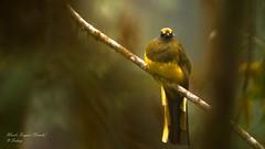 """Phantom of the Forest"" (Sudeep Nandi) Tags: endemicbirds phantomoftheforest wardstrogon birds beautifulbirds wildandfree bokeh nikoncafe female lifeonearth dense tree majesticbirds kingofbird background natgeowild animalplanet eyecontact"