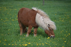 Shetlandpony (thomas druyen) Tags: shetlandpony pony pferd tier gras feld löwenzahn weeze vorselaer nrw niederrhein deutschland