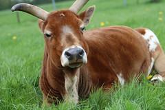 Zebu Bertha , the Dreamer (excellentzebu1050) Tags: zebu miniaturezebu africancattle cattle closeup animalportraits animal outdoor coth5 sunrays5