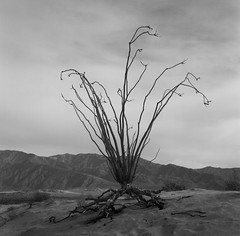 Life will find a way (kornheisltj17) Tags: landscape nature ocotilloplant iso100 acros analog film rollei anzaborregostatepark california fujiacros100 schneiderkreuznach rolleicordiv rolleicord fontspoint fujifilm f35