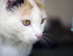 Laniwatches (saracali.gallery) Tags: macro eyes beauty study portrait feline