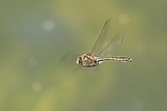 Jagende männliche Falkenlibelle , NGIDn921529867 (naturgucker.de) Tags: ngidn921529867 naturguckerde falkenlibellecorduliaaenea graft creinhardlehne