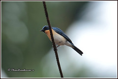 7858 - Tickell's blue flycatcher (chandrasekaran a 49 lakhs views Thanks to all.) Tags: tickells blue flycatcher tickellsblueflycatcher birds wayanad kerala india canoneos6dmarkii tamronsp150600mmg2