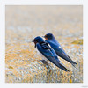 Hirondelles rustiques (gilbert.calatayud) Tags: barnswallow hirondellerustique hirundinidés hirundorustica passériformes bird oiseau delta de l ebre catalogne espagne