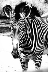 Rocker. ( #cc ) (marfis75) Tags: white black monochrom monoc bw blackandwhite schwarzweis frankfurt zoofrankfurt rocker pferd stripes streifen zebra familie 2018 marfis75 vatertag zoo frankfurterzoo