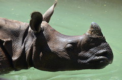 DSC_7888 (Andrew Nakamura) Tags: mammal rhinoceros rhino indianrhino greateronehornedrhinoceros water swimming inthepool