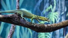 009685-_1024350 (aussiephil1960) Tags: lizard em1mk2 olympus em1markii olympus12100mmf40 cairnsaquarium