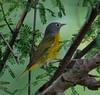 The Nashville Warbler (Oreothlypis ruficapilla) (dzittin) Tags: birds south texas nashville warbler oreothlypis ruficapilla