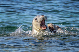 Australia sea-lions - Donnington Island