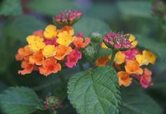 DSC08221 (Old Lenses New Camera) Tags: sony a7r reichert neupolar 100mm f63 macro plants garden flowers lantana