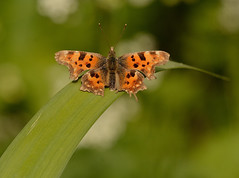 Comma Butterfly (Severnrover) Tags: insect butterfly butterflies uk comma macro beautiful camera sigma lens 150mm