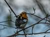 Paruline a Gorge Orangée Blackburnian Warbler (proxy46) Tags: 200500mm2018 magesmarsh nikon d500 oiseau paruline parulineagorgeorangée oakharbor ohio étatsunis us