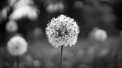 Dandelion Wine #3 (gorelin) Tags: warszawa warsaw polska poland powsin spring flowers garden botanical botaniczny ogrod blackandwhite blackwhite white black ilce7m2 55mm fe55f18za zeiss a7ii a7 alpha sony 3