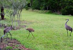 Sandhill Crane family (M. Coppola) Tags: pasco egretglade florida antigonecanadensis sandhillcrane adult immature