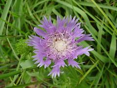 Stokesia laevis (Stokes' aster) (mtcubacenter) Tags: native plants delaware public gardens botanical plantlife nativeplants midatlantic ecologicalgardening