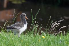 Chick of an Oystercatcher (Johan Konz) Tags: chick oystercatcher grass field bird spring springtime hetschouw waterland netherlands animal outdoor