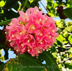 (nicolehobbs87) Tags: plant nature cluster vibrant blossom leaves flower pink