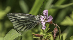 Green-veined White butterfly-Pieris napi (stevenbailey7) Tags: pierisnapi butterflies butterfly pieridae flowers insects nature spring garden nikon tamron new closeup carmarthenshire