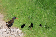 Water Rail and her four chicks (Karen Roe) Tags: lakenheathfen rspb lakenheath fen nature reserve naturereserve suffolk county england britain uk unitedkingdom greatbritain gb canoneos760d canon 760d 150600mm sigma zoom contemporary wildlife may 2018 peaceful quiet tranquil outside spring weather season camera photography photograph photographer picture image snap shot photo karenroe female flickr visit visitor royal society protection birds member
