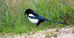 Magpie J78A0254 (M0JRA) Tags: birds magpies flight flying wildlife rats walks gardens parks fields trees lakes ponds ducks swans rspb