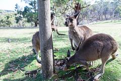 Roos (stephenbarber) Tags: cleland wildlife australia pipe animals tap kangaroo southaustralia sanctuary au