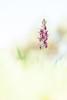 Anacamptis coriophora subsp. fragrans (Mark Engels, Margraten) Tags: orchis orchid orchidee portugal algarve highkey light color white plant rare nature sunshine macro art bokeh dof sun