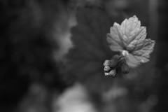 Camassia (Tony Pulokas) Tags: spring camassianaturalarea thenatureconservancy westlinn oregon flower blur bokeh tilt tellima saxifrage fringecups leaf
